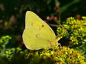 Yellow Sulphur... - Colias eurytheme - female