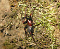 Red and black spider - Kibramoa