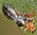 Jumping Spider - Pelegrina arizonensis