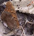 Tattered Tawny? - Asterocampa clyton - female