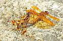 Dragonfly2018-009 - Perithemis tenera