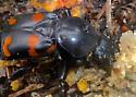Sexton Beetle - Nicrophorus carolina