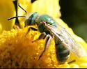 Agapostemon sp. ? - Agapostemon angelicus - female