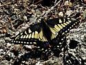 Desert Black Swallowtail - Papilio polyxenes