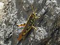 Grasshopper ID? - Schistocerca albolineata - female
