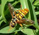 Syrphidae - Milesia virginiensis - Milesia virginiensis