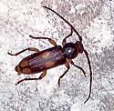 Tylonotus bimaculatus