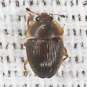 Sap-feeding Beetle - Stelidota geminata
