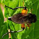Syrphid - orange legs - Chalcosyrphus curvarius - female