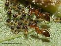 Entylia carinata nymphs - Entylia carinata