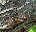 Megarhyssa wasp - Megarhyssa - male - female
