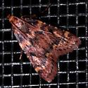 Reddish Moth - Aglossa disciferalis