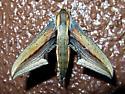 Xylophanes falco