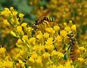 Small wasp - Philanthus