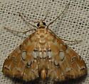 pondside pyralid - Elophila icciusalis
