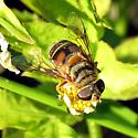 Syrphid - Palpada vinetorum