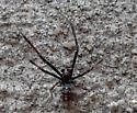 Unknown spider - Latrodectus