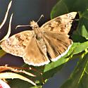 Butterfly - Erynnis tristis