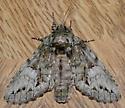 Noctuid? - Heterocampa umbrata - female