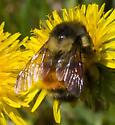 Bumble Bee - Bombus melanopygus
