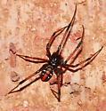 Spider - Latrodectus variolus - male