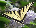 some type of Swallowtail butterfly I believe - Papilio canadensis - male