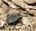 Tenebrionidae - Embaphion