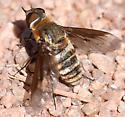 Bee Fly - Exoprosopa dodrans