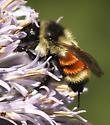 Which Bumble Bee Please? - Bombus ternarius - female
