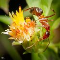 Ant - Formica incerta