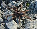 Wolf Spider #3 - Hogna frondicola - male
