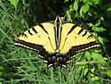 Papilio multicaudatus - male