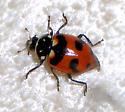 What ladybug? - Hippodamia caseyi