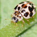 Ladybird beetle - Psyllobora vigintimaculata