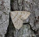 Chytolita petrealis - Chytolita morbidalis