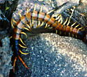 Monster centipede (head to right) - Scolopendra heros