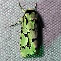 green moth - Emarginea dulcinea