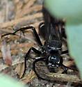 Spider Wasp (Pompilidae) - Episyron biguttatus - female