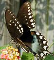Spicebush Butterfly? - Papilio troilus - male