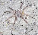 Sand Colored Spider on Florida Gulf Island Beach - Arctosa