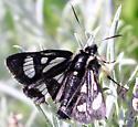 Alypia maccullochii - MacCulloch's Forester Moth - Androloma maccullochii