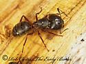 238401 - Camponotus herculeanus - female
