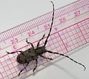 Beetle? - Synaphaeta guexi