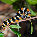 Okefenokee Zale Moth (Zale perculta) - Zale perculta