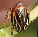 Phylloscelis atra