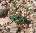 Mormon Cricket - Anabrus simplex - male
