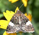 Brownish moth with large white spots on Gumweed - Tyta luctuosa