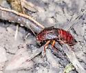 very long reddish roach found in daylight - Blatta orientalis