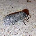 2694   Little Carpenterworm Moth   (Prionoxystus macmurtrei) - Prionoxystus macmurtrei