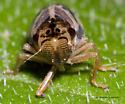 Short-winged Cicadellid - Evacanthus nigramericanus